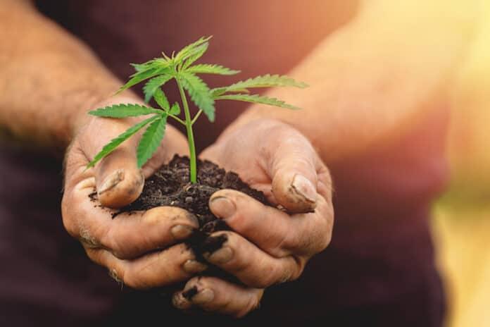 Farmer hands holds baby cannabis plant. Concept farm marijuana plantation.