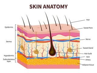 Layered epidermis with hair follicle, human skin.